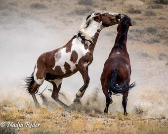 Mustang Battle! Picasso and Dragon - 16x20 Premium Gallery Wrapped Canvas Print - Stallion Fight