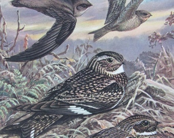 Chimney Swift/Nighthawk/Whip-poor-will, 1968 Vintage Book Plate, Book Page, Bird Print, North American Species
