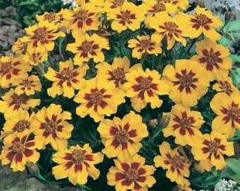 Marigold- Dainty Marietta- 25 Seeds