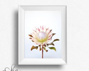 King protea, protea print, pink protea, minimalist photo decor, minimalist poster, wall art, blush protea, minimalist photo print, printable