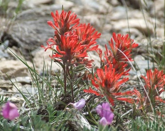 50 Red INDIAN PAINTBRUSH Castilleja Indivisa Flower Seeds