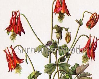 Wild Columbine Flowers Botanical Print 1950s Vintage Wildflowers To Frame 58