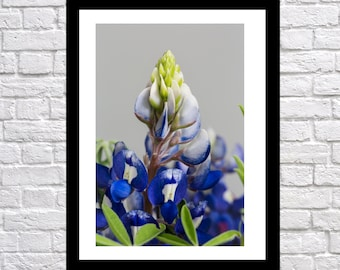 Texas Bluebonnet Photography Macro Gray, nature photography, landscape photography, Bluebonnet Art, flower print, texas blue bonnet wall art