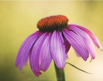 Pink Coneflower - 16x20 - Fine Art Photograph