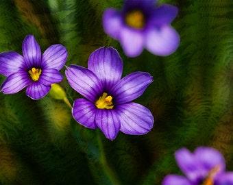Flower, Blue-Eyed Grass, Grass, Fern, Close-up, Composite, Blue, Purple, Yellow, Green