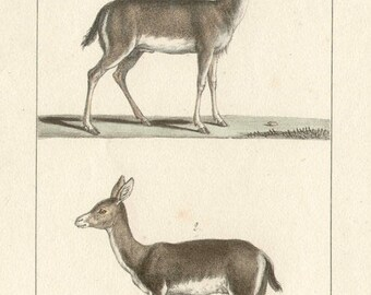 Reebok - Antique French natural history lithograph, 1832