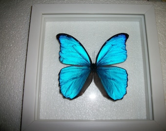 Blue Morpho in White Frame