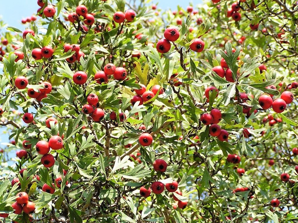 50 washington hawthorn mayflower shrub tree edible fruit white 50 washington hawthorn mayflower shrub tree edible fruit white flowers seeds mightylinksfo