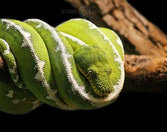 Green Tree Snake Photograph, Wildlife and Animal Home Decor, Exotic Reptile Wall Art, For the Animal Lover