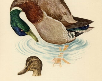 Vintage lithograph of the mallard from 1953