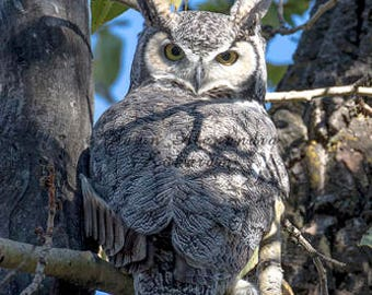 Great Horned Owl - Wisdom