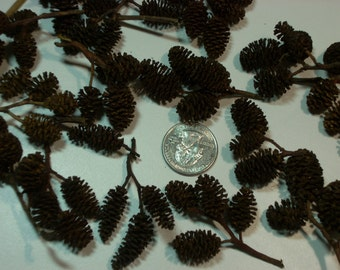 Alder cones, 10 to 11 ounces, box of 400 to 600 cones per box