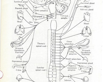 Human Anatomy Autonomic Nervous System Vintage Medical Anatomy Illustration to Frame or for Collage,  Mixed Media and MORE PSS 0155