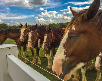 Horse Play, Horse Photography, Animal Photography, Wildlife Photography, Clydesdales, Travel Photography, Horses, Pasture, Cloud Photography