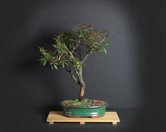 Dwarf Firebush bonsai tree, Hummingbird Collection from LiveBonsaiTree