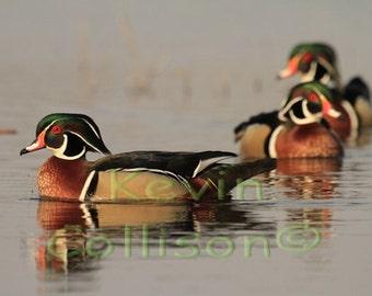 Three male Wood Ducks