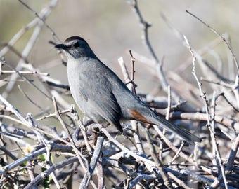 Gray Catbird print, Bird photography, wildlife nature art, metal print, canvas wrap, photo print, free shipping, Dumetella Carolinensis