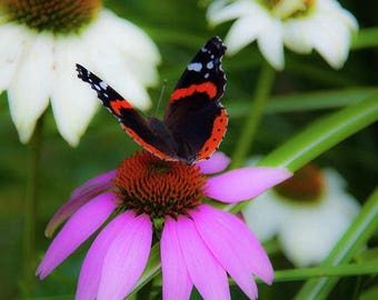Cone Flower Photography, Butterfly Photography, Butterfly Print, Flower Photography, Cone Flower Decor,