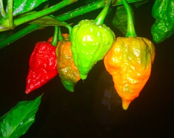 Ghost Pepper plant