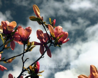 Japanese Magnolia - Flower Bloom Photography Spring Pink Dark Blue Grey Gray Sky Clouds Home Decor - 5x7 Photograph