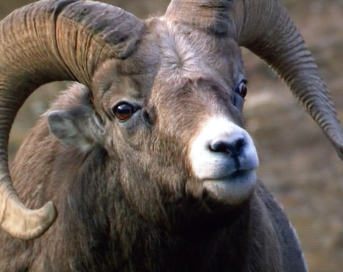 Sizing Up the Competition - Bighorn Ram Photography - Prints and Cards
