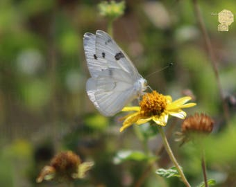 White Butterfly On Buttercup Yellow Daisy Photograph Prints up to 16x24, Postcards, Coffee Mug, Throw Pillow Mother's Day Gift
