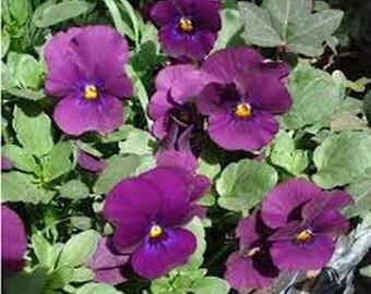 Viola- Cornuta- Admiration- 50 Seeds