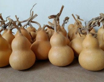 25 Heirloom Pear Gourd Seeds  FREE SHIPPING!!!!