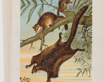 Victorian Antique Chromolithograph 1800's FLYING SQUIRREL Print Adorable!