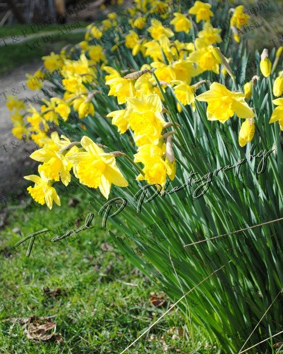 Digital download photo daffodil flowers yellow flower mightylinksfo