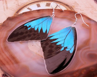 Papilio Ulysses - Real Blue Swallowtail Butterfly Wing Earrings