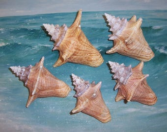Lot of 5 FLORIDA Keys BEACH Collected Juvenile Roller Queen, Pink Conch Shell SEASHELLS #5
