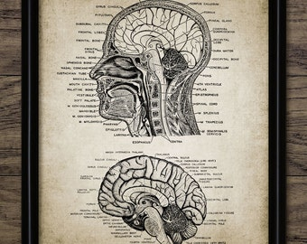 Vintage Human Head And Brain Anatomy Print - Neuroscience - Human Anatomy - Neuroanatomy - Physiology - Single Print #929 - INSTANT DOWNLOAD