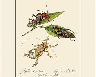 Gryllus Monstrsus, India Insect, Edward Donovan, Art Print with Mat, Note Card, Natural History Illustration, Wall Art, Wall Decor, Vintage