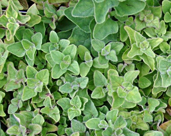 Greek Oregano Heirloom Herb Seeds Non-GMO Naturally Grown Open Pollinated Gardening