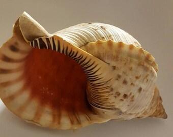 Triton Conch Shell DecorativeBlack Friday Sale
