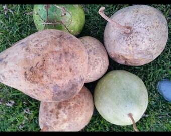 15 BUSHEL BASKET GOURD Seeds Rare Unique U.S.A. Fresh Heirloom