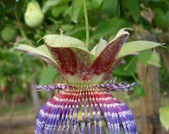 Wild Purple Passionfruit Seeds, Passiflora maliformis - 25 Seeds