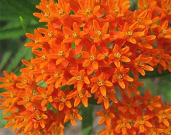 90Pcs  Orange Butterfly Milkweed Asclepias Flower Seeds Plants Home Garden View