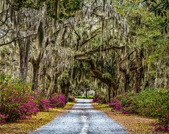 Azaleas and Spanish Moss, Savannah, Georgia