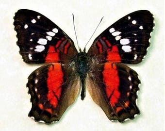 ONE Real Butterfly red Anartia amathaea Peru