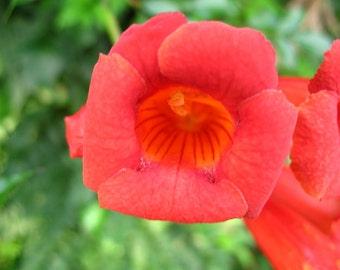 Trumpet Vine Campsis radicans 30 Seeds