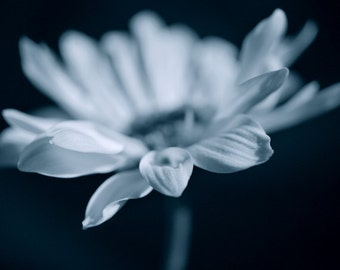 Blue white flower photography - daisy flower macro, in the darkness floral art print 8x10, dark photography, black wall art light & shadow