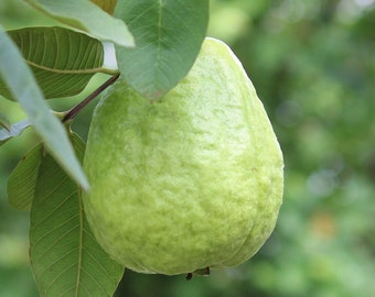 Chinese Guava Tree  (air layering)- Fruiting age