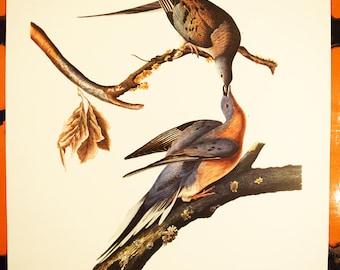 "Passenger Pigeon Print - Audubon Folio Collection - Columba Migratoria - 17""x14"" Sheet - Original - 1950s - Vintage Bird Prints - Animal Art"