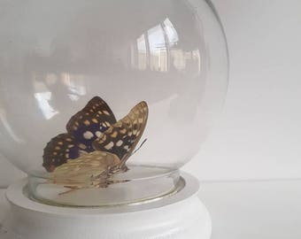 Real butterfly in glass globe dome