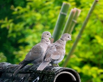 The pair of doves