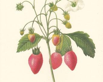 vintage botanical print of strawberries