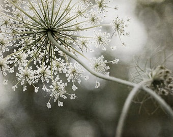 Queen Anne's Lace, Queen of the Forest Print, Home and Office Decor, Flower Photography, Large Wall Art, Queen Annes Lace
