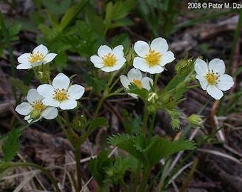 Wild Strawberry Flower Essence